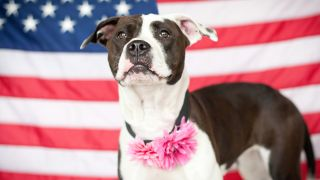 How to calm dogs on 4th of July - pitbull standing in front of American flag