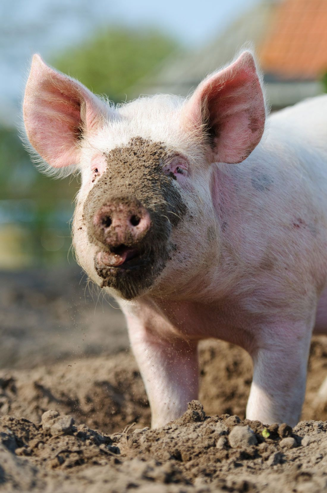 Why Pigs Love Mud | Live Science
