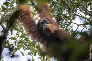 There are fewer than 800 individuals of the newfound Batang Toru orangutan species left in the wild.