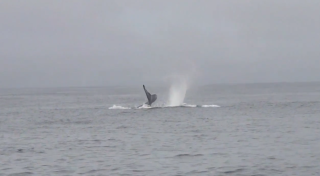 Orcas Attack Blue Whale