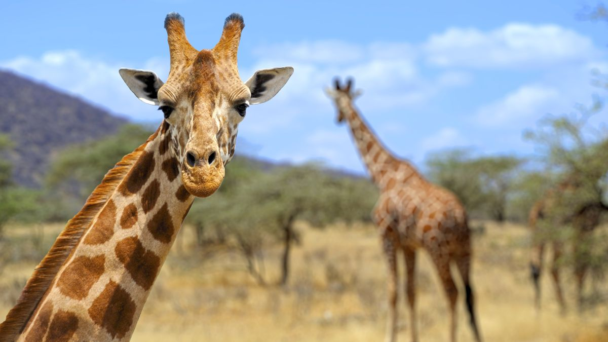 Lightning killed 2 giraffes in South Africa: Were they doomed by their height?