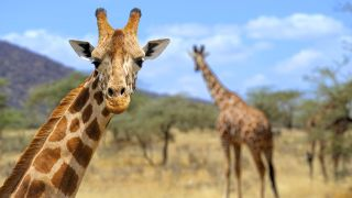 Giraffes' exceptional height may increase their vulnerability to lightning.