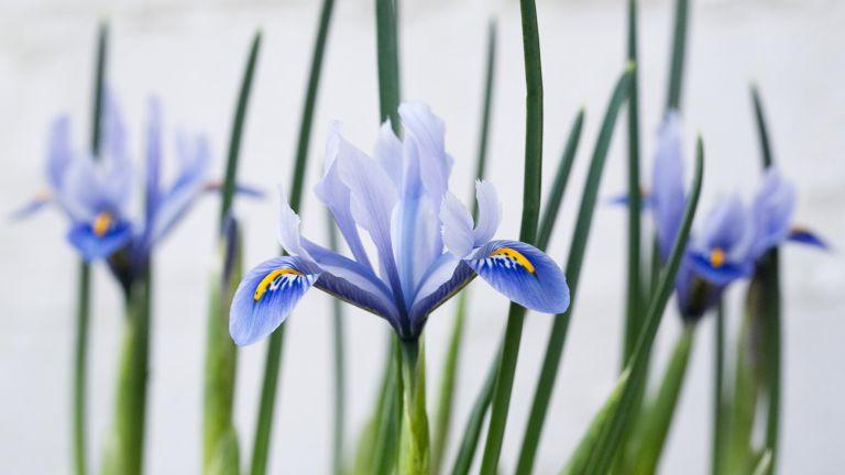 Winter iris in the snow