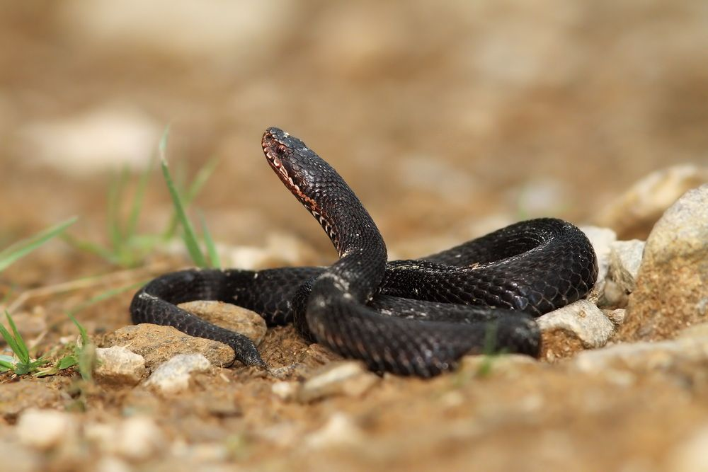 Facts About Adders Live Science
