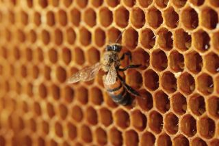 A bee on a honeycomb
