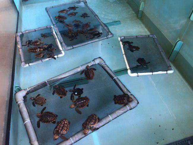 Imagem deprimente mostra tartaruga marinha morta com 104 pedaços de plástico na barriga