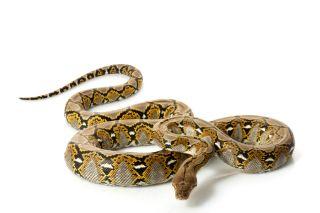 biggest-snake
