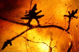 The so-called ectomycorrhizae preserved in Indian amber.