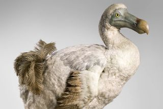 Dodo bird taxidermy