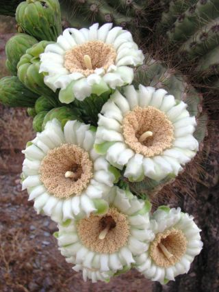 Saguaro cactus bloom, spring
