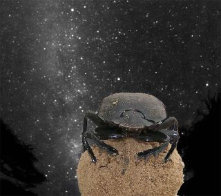 dung beetle with milky way glow in background