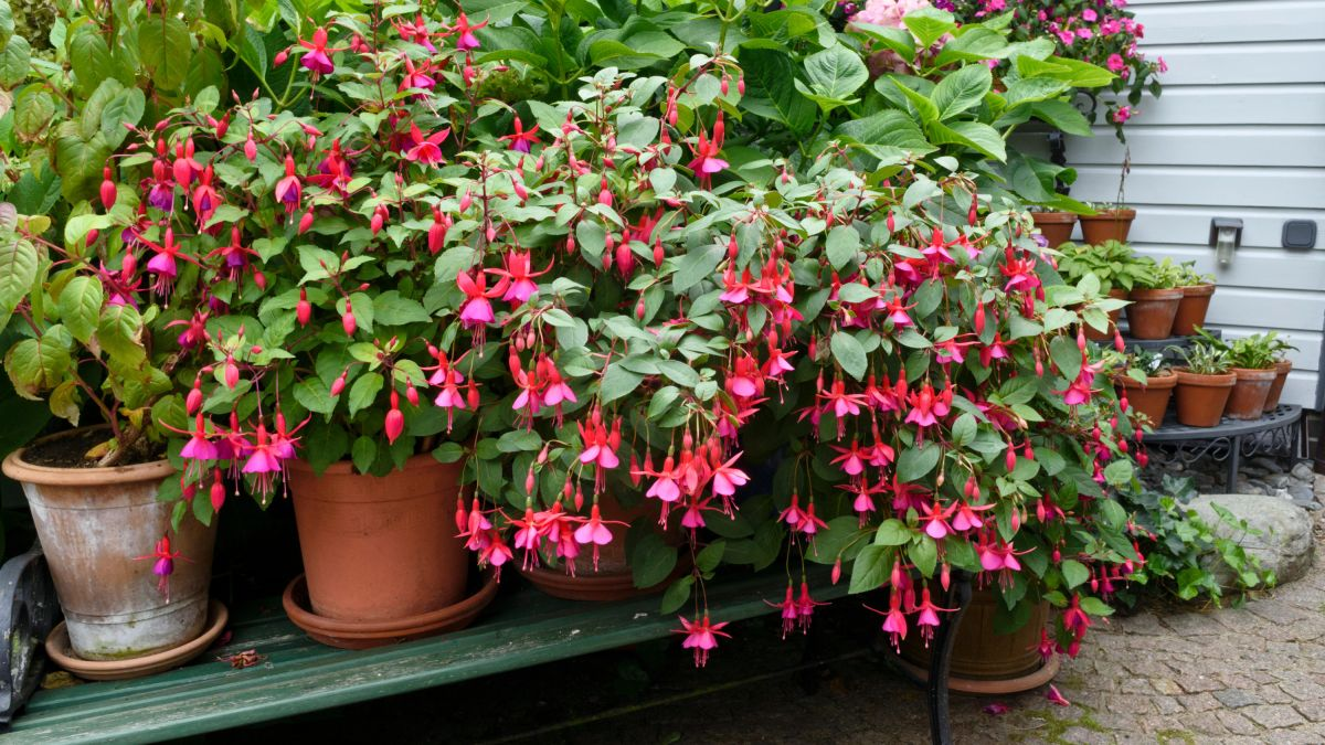 How to grow fuchsias: make them the centrepiece of your borders, pots and hanging baskets