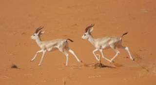 Gazelles running through the sand.