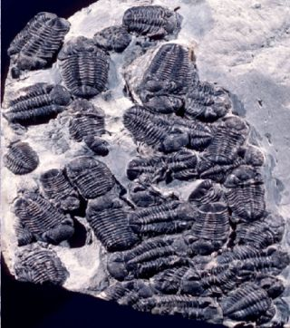 fossilized trilobites in orgy