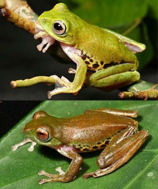 Color-changing Frog