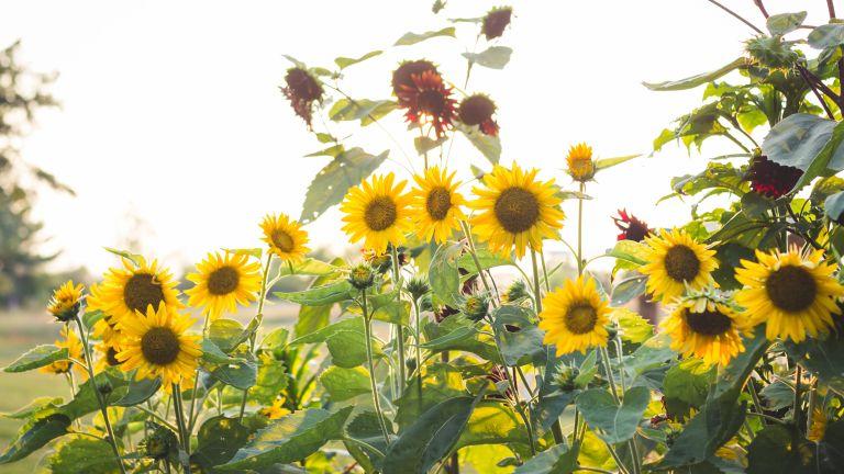 Monty Don's sunflower tips