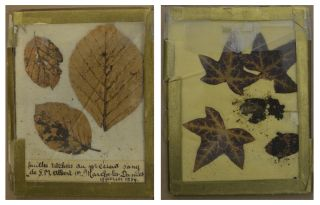 DNA has confirmed that the blood staining these tree leaves, bought at an auction, came from King Albert I.