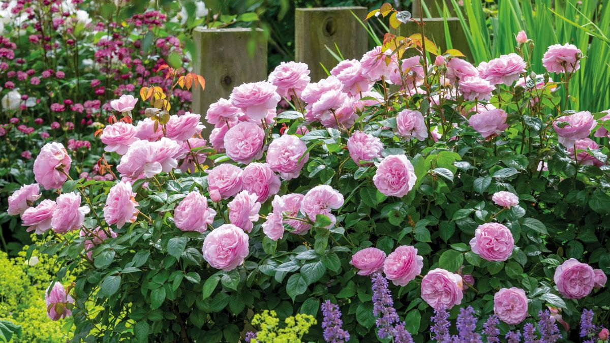 Rose expert reveals the top 4 ways to prepare your roses for summer
