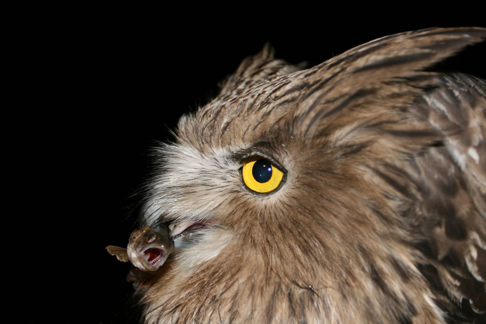 World S Largest Owl Exposes Health Of Russia S Forests Live Science