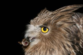 An endangered Blakiston's fish owl captures an unsuspecting Masu salmon smolt