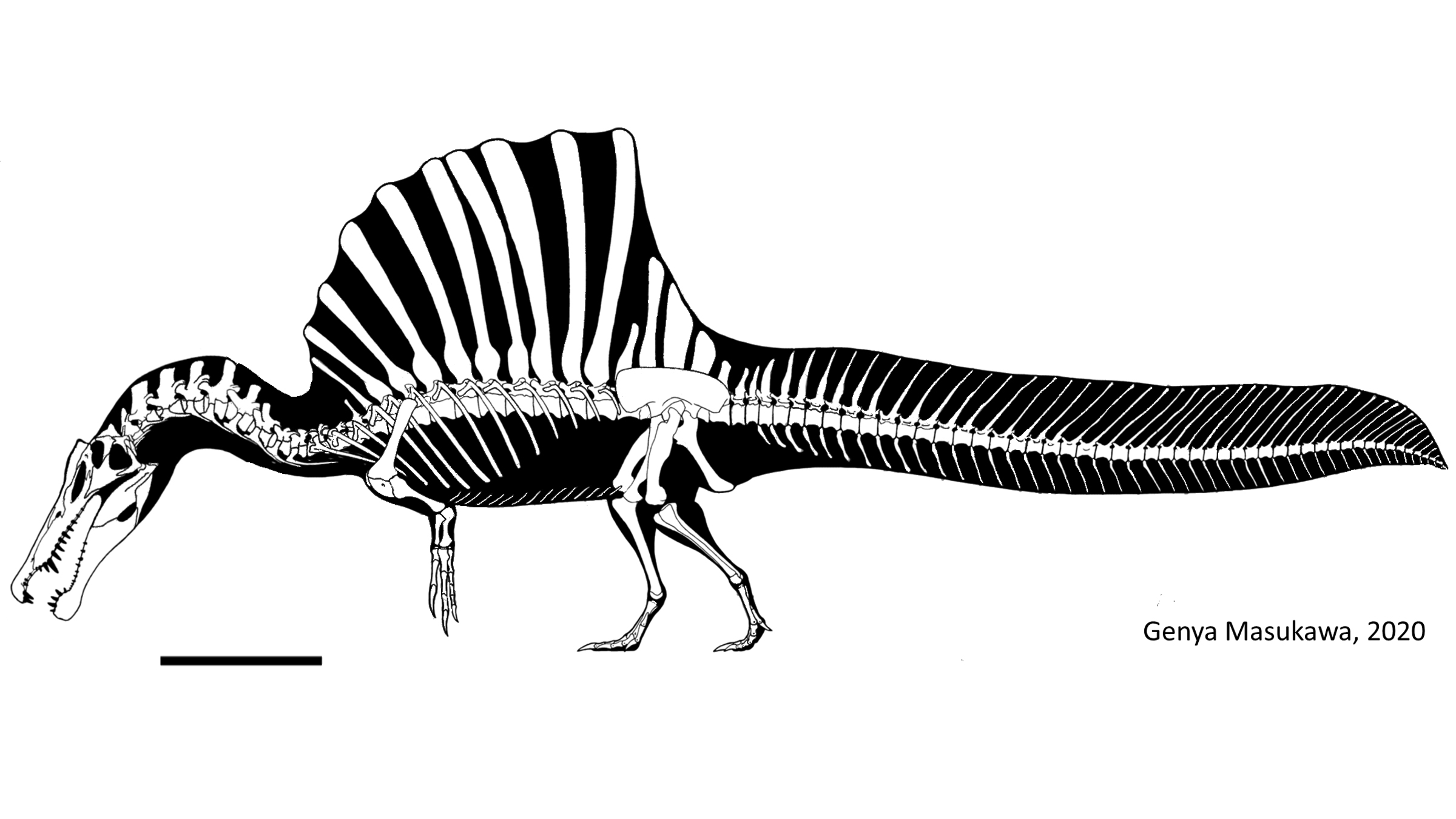 Spinosaurus's skeleton, including its famous back sail and tail plume. Scale bar is 1 meter (3.2 feet).