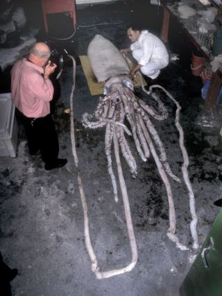 Giant squid autopsy