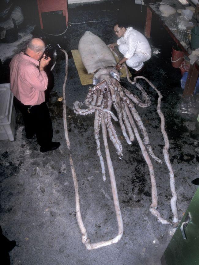 Giant squid autopsy