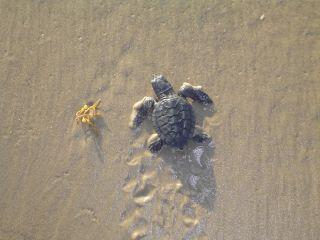 Kemp's ridley sea turtle, turtles, tortoises