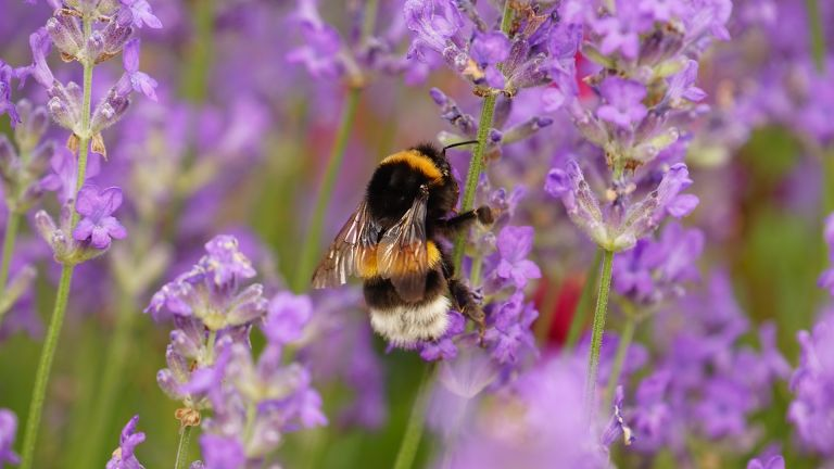 bee friendly plants showing lavender flowers to attract bees
