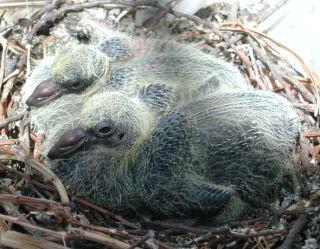 baby-pigeons