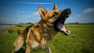 German Shepherd outside on sunny day barking with aggressive expression