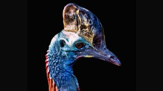 Southern cassowary is found in New Guinea as well as Queensland in northeastern Australia.