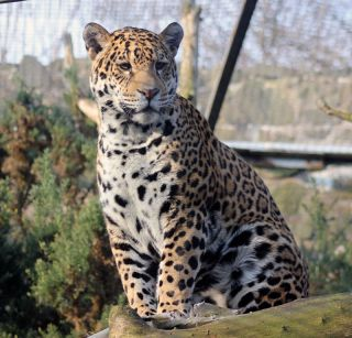 Edinburgh Zoo's new female jaguar, Rica.