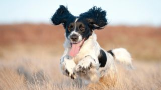 Playful dog breeds guide: Pure joy on the face of a young spaniel running free through a field