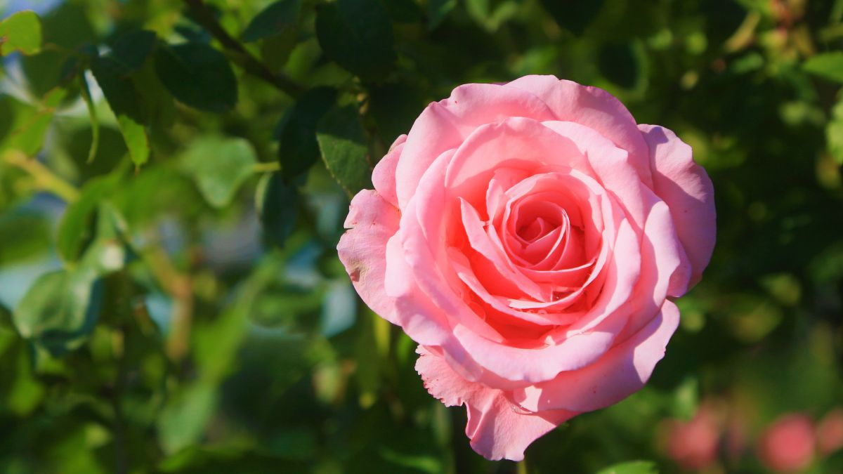 How to prune shrub roses. It's easy with Monty Don's expert tips
