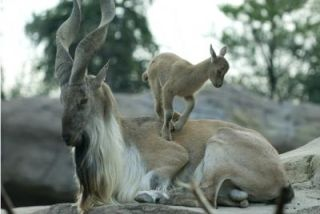 The Markhor, a majestic wild goat