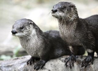 otters-endocrine-disruptors