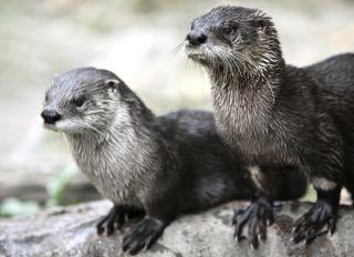 otters-endocrine-disruptors