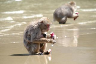 Japanese macaques eating