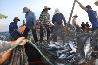 Fishermen collect tuna caught by trawl nets in the Nha Trang Bay in Vietnam.