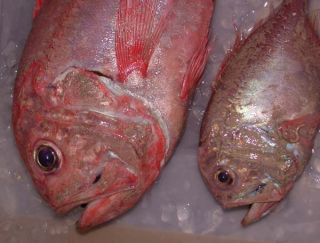 orange roughy deep sea fish