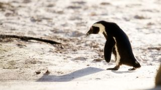 Image of a penguin.