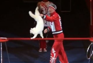 A cat doing a handstand at the Moscow Cat Theater