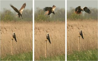 A marsh harrier and a decoy bird.