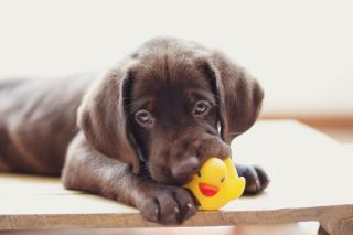 teething puppy tips