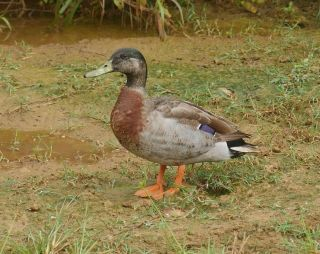 Trevor, the only duck on the Pacific island of Niue, stands near his cozy puddle home. Trevor was reportedly named after New Zealand parliamentary speaker Trevor Mallard.