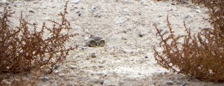 Western burrowing owl, prairie dogs, animal communication
