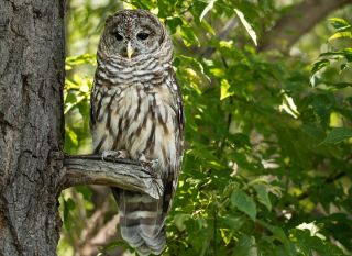 A Northern spotted owl on a tree branch.