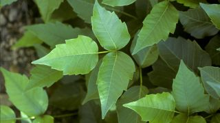 Poison ivy can cause a nasty rash upon contact