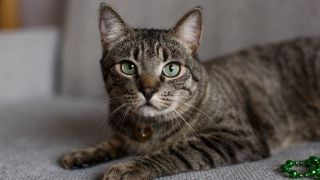 Striped grey cat with green eyes sitting on a sofa